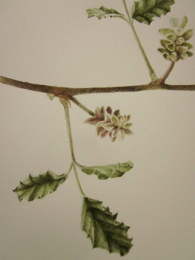 Close up of the second leaf and inflorescence.