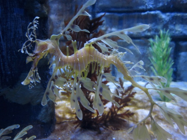 Leafy seadragon (Photo copyright: Anne Lawson)