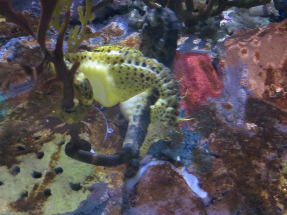 Bony plates make seahorses difficult to swallow