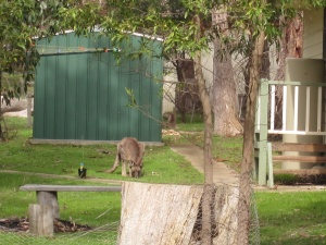 This kangaroo is eating in someone's backyard. Can you see another one having a lie down next to the garage?  (photo copyright: Anne Lawson, 2013)