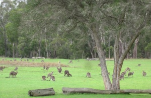 I counted 40 kangaroos in this photo. It is an area next to the caravan park.  (photo copyright: Anne Lawson, 2013)
