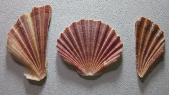 The set up of the scallop shells that I painted. (Photo copyright: Anne Lawson, 2013)