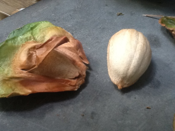 The nut is on the right. On the left you can see how the nut nestles into its casing. (Photo copyright: Anne Lawson, 2014)