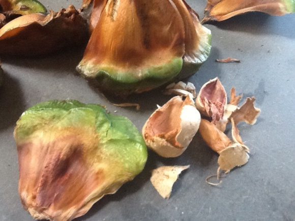 There seems to be another shell around the actual nut, a bit like an almond. (Photo copyright: Anne Lawson, 2014)