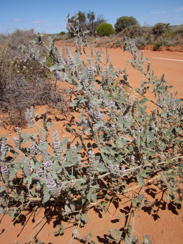 Cullen pallidum growing by the side of the road in Kinchega National Park. (Photo copyright: Anne Lawson 2011)