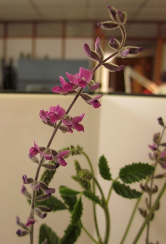 The flower of C. australasicum, from a specimen that someone else found for me. (Photo copyright: Anne Lawson 2011)
