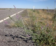 C. australasicum growing prolifically beside the road. (Photo copyright: Anne Lawson 2011)