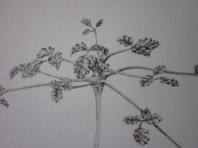 Pencil drawing of C. discolor. (Photo and image copyright: Anne Lawson 2014)