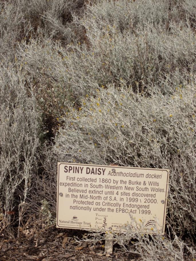 Spiny daisy Acanthocladium dockeri (Photo copyright: Anne Lawson, 2014)