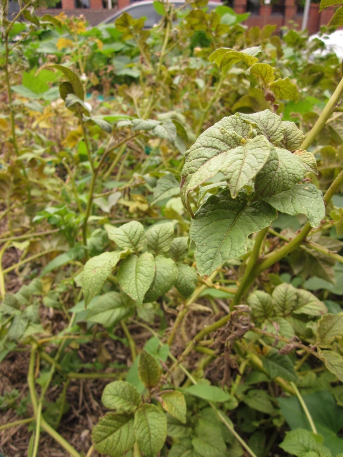 They are ready to harvest when the plant starts to die back and look ratty.  (Photo copyright: Anne Lawson, 2014)