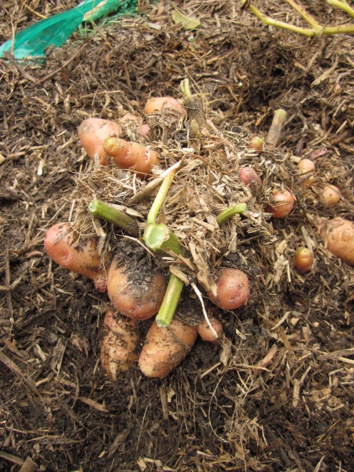 The potatoes sit on the surface like a nest of eggs. (Photo copyright: Anne Lawson, 2014)