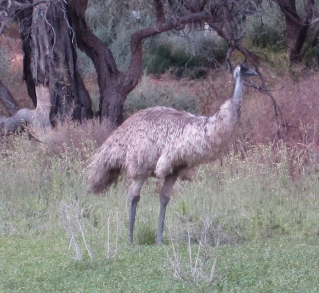 Emu (Photo copyright: Anne Lawson 2011)
