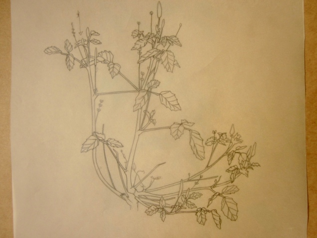 Line drawing on tracing paper