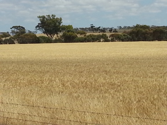 Wheat fields ~ and this is a small one