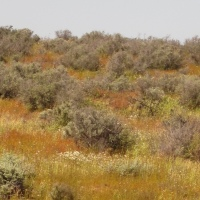 Beckler's Botanical Bounty: the flora of Menindee